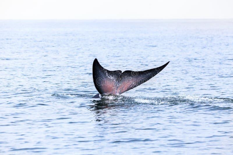 Bryde& x27 ; baleine de s, Eden& x27 ; baleine de s, mangeant des poissons chez le golfe de Thaïlande photos libres de droits