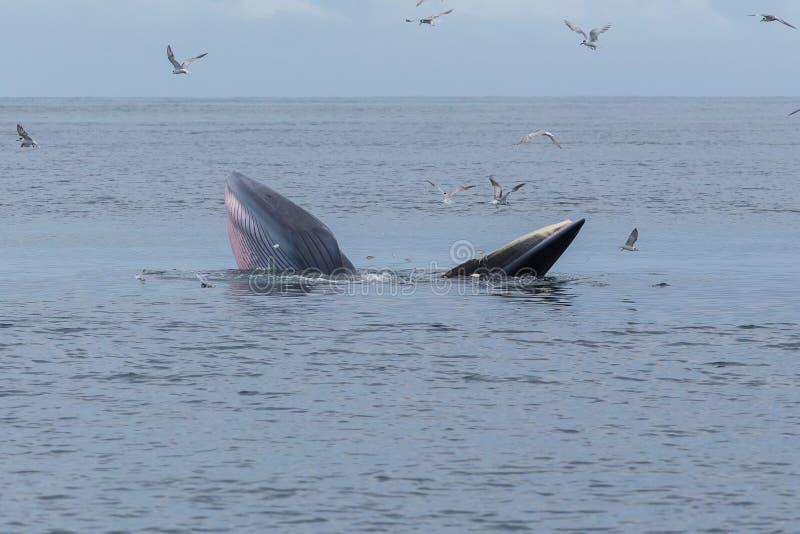 Bryde& x27; ballena de s, Eden& x27; ballena de s que alimenta los pequeños pescados, ballena en golfo de fotos de archivo libres de regalías