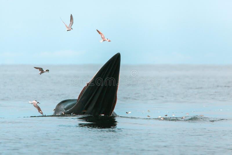 Bryde' s-Wal, Eden' s-Wal, Fische beim Golf von Thailand essend lizenzfreie stockfotografie
