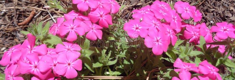 Brylant Różowy Plox Horyzontalny fotografia royalty free