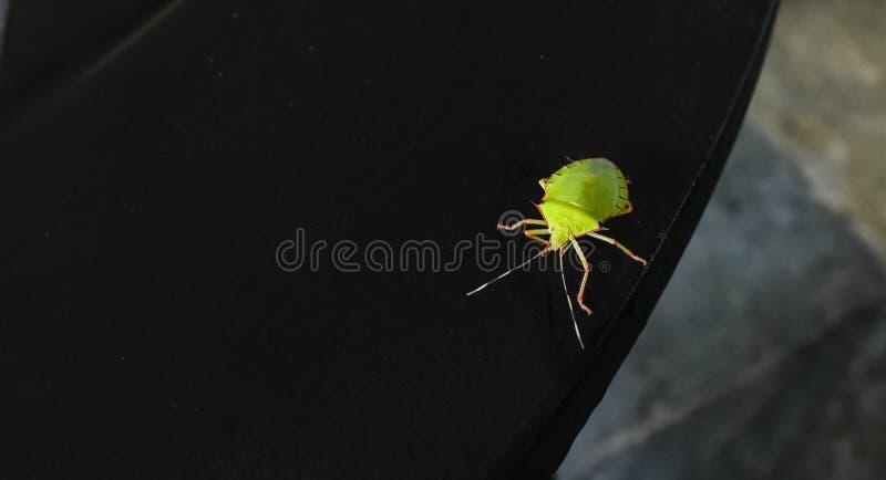 Brylanta Chincha ścigi zielona pluskwa, wolno czołgać się wzdłuż ciemnego drewnianego tabletop dalej zdjęcia stock