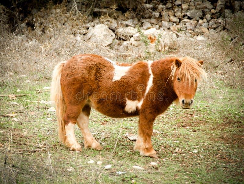 Bryna med vitfläckminiatyrhästen, liten ponny royaltyfria bilder