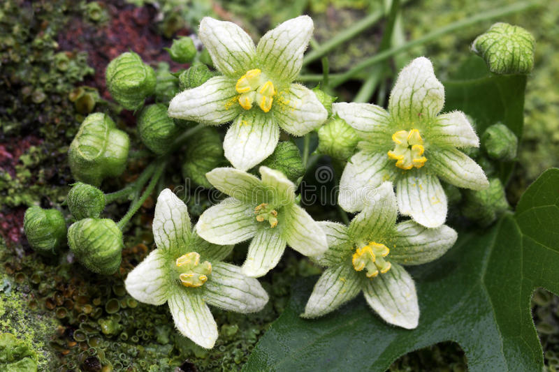Bryonia dioica wildflowers. Bryonia dioica is a plant of the cucumber family royalty free stock image