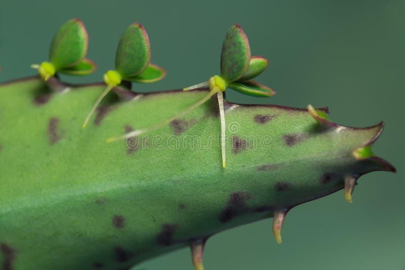 Bryophyllum-daigremontianum Jungpflanzen auf Blatt lizenzfreie stockbilder