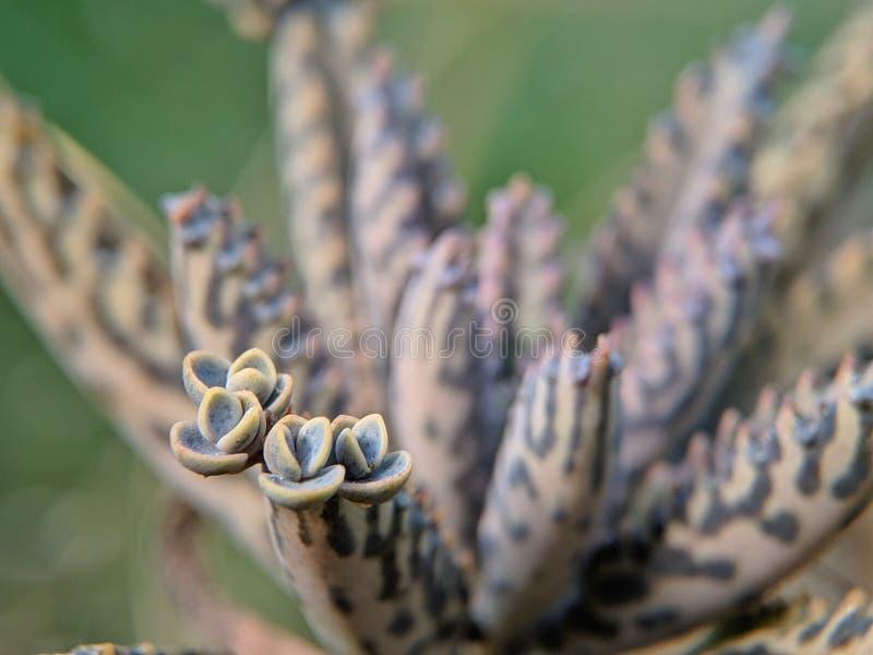Bryophyllum delagoense jest tłustoszowatym rośliny miejscowym Madagascar fotografia royalty free
