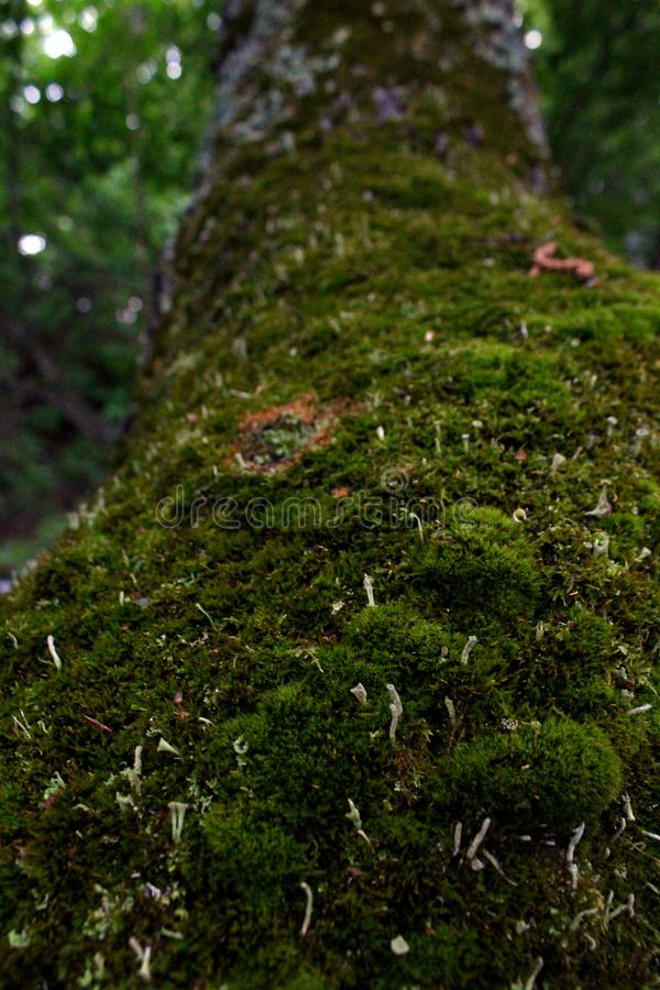 Bryophyta. Mosses are small flowerless plants that typically grow in dense green clumps or mats, often in damp or shady locations. The individual plants are stock photos