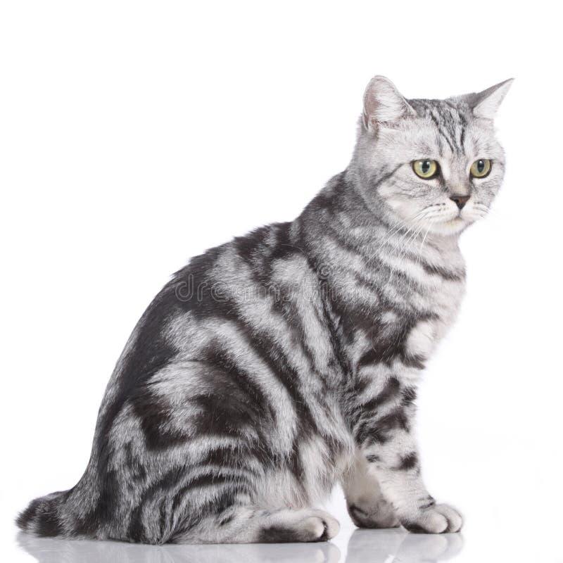 brytyjczycy kota shorthair zdjęcia stock