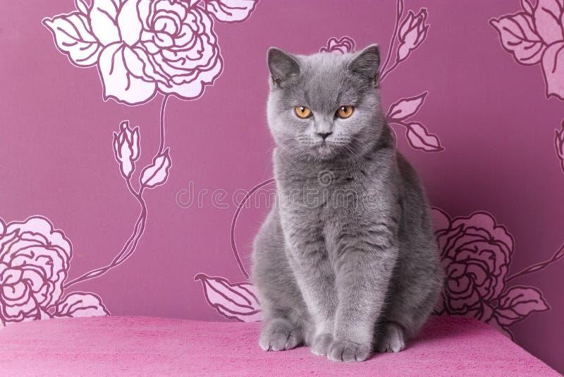 Brytyjska błękitna shorthair figlarka na różowym tle fotografia royalty free