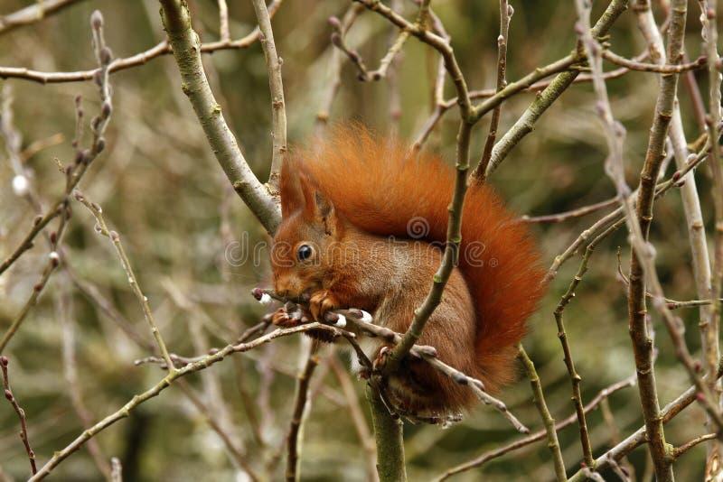 Brytyjska Czerwona wiewiórka fotografia royalty free