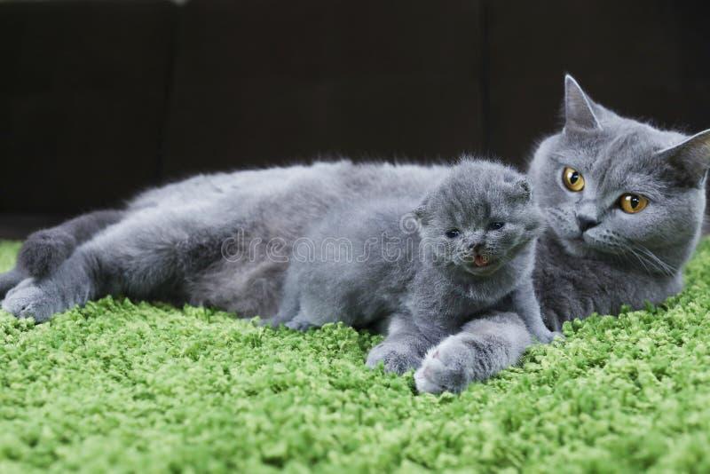 Brytyjska matka Shorthair opiekuje siÄ™ swoim kotem obrazy stock