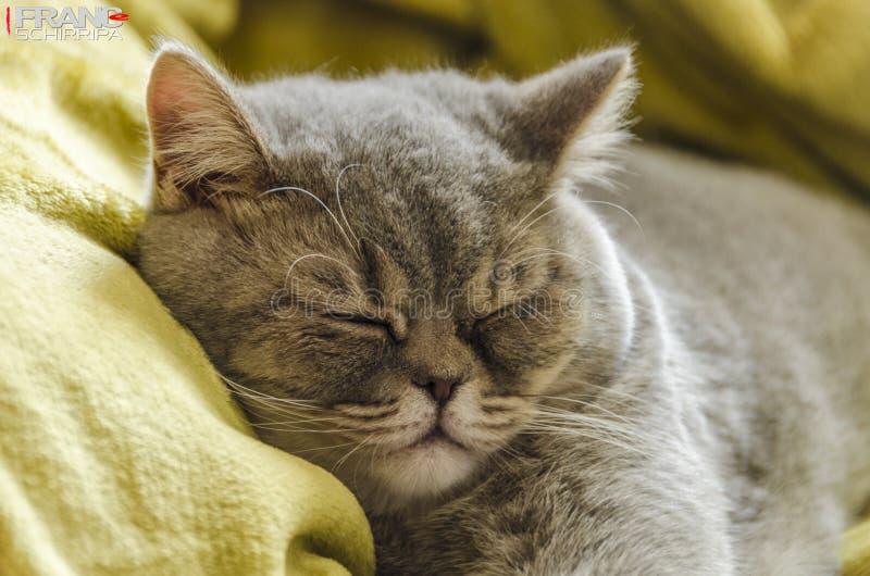 Brytyjska shorthair figlarka przy odpoczynkiem fotografia royalty free