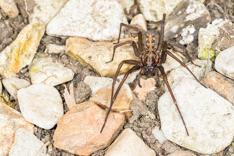 Brytyjski domu pająk (Tegenaria duellica) obraz stock