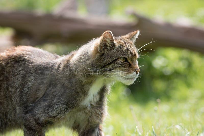 Brytyjski Dziki kot zbliża się zdobycza podczas polowania zdjęcie stock
