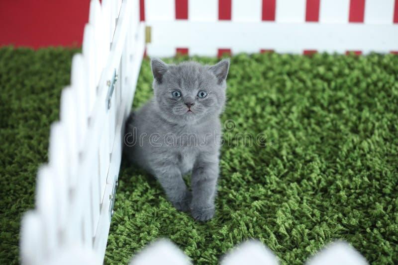 Brytyjski kociak krótkowłosy siedzący na zielonej trawie, białym płocie obrazy stock
