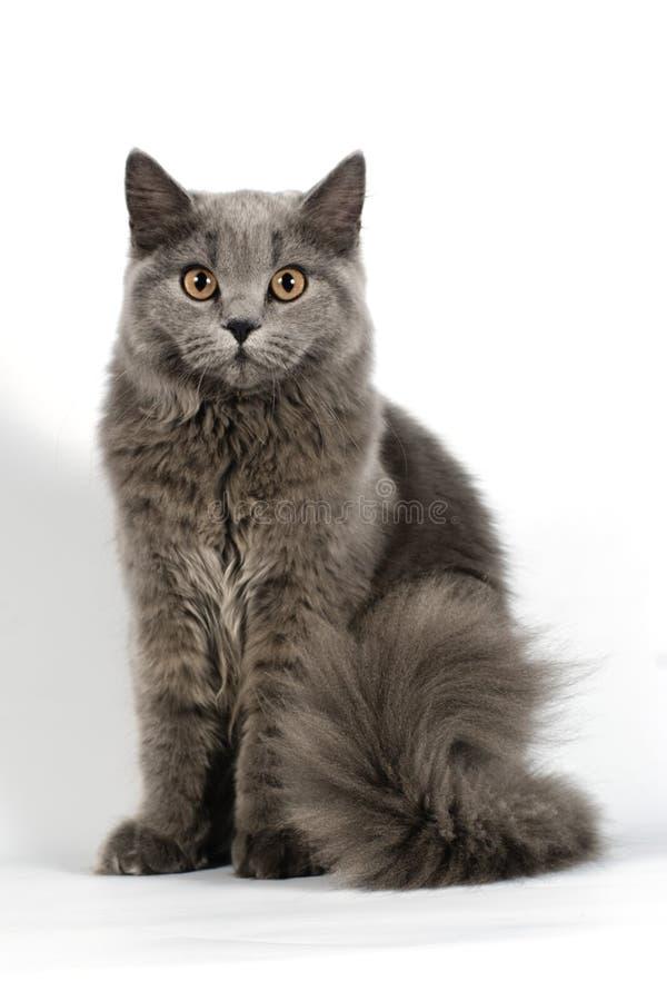 Download Brytyjski kot zdjęcie stock. Obraz złożonej z hobby, zwierzę - 19835078