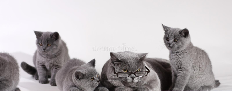 brytyjski kot koci się shorthair zdjęcie royalty free