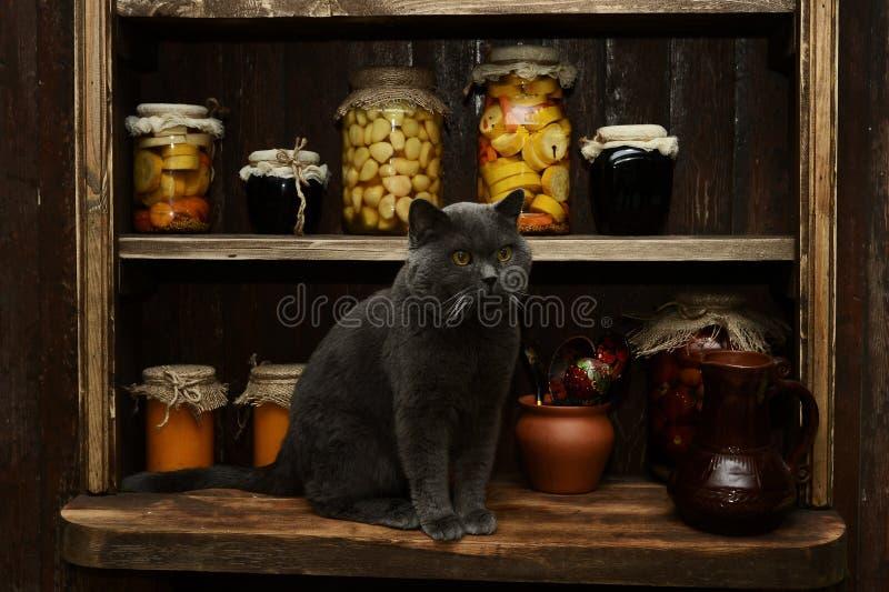 Brytyjski kot siedzi na stole na tle rocznika stojak z bankami obrazy stock