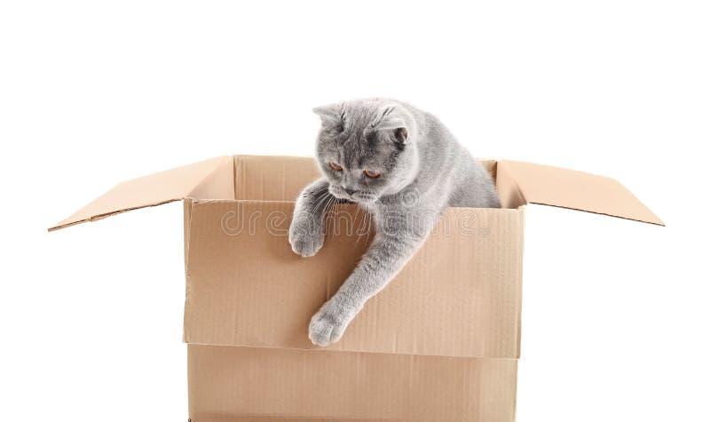 Brytyjski kot w pudełku odizolowany zdjęcia stock