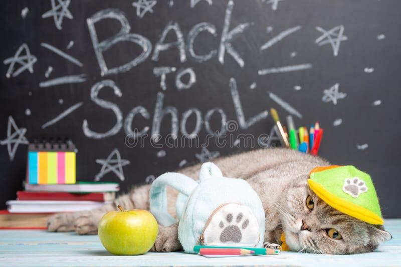 Brytyjski kota uczeń w nakrętce z plecakiem i, kłamstwa na tle zarząd szkoły tylna szkoły zdjęcia stock