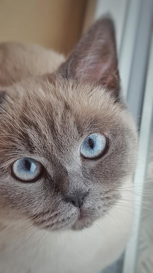 brytyjski kota włosy skrót obraz stock