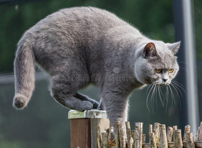 Brytyjski krótkiego włosy kot wspina się zręcznie na górze ogrodowego ogrodzenia obrazy stock