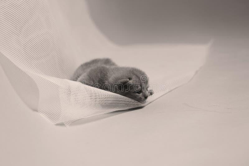 Brytyjski Shorthair błękitna figlarka odpoczywa na białej sieci obraz stock