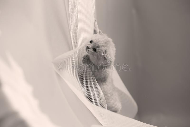 Brytyjski Shorthair błękitna figlarka odpoczywa na białej sieci fotografia royalty free