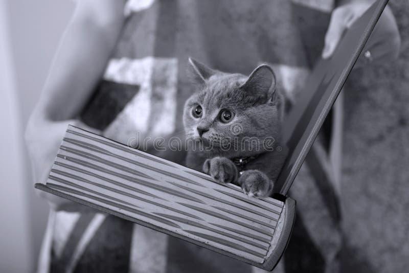 Brytyjski shorthair dziecko zdjęcie stock