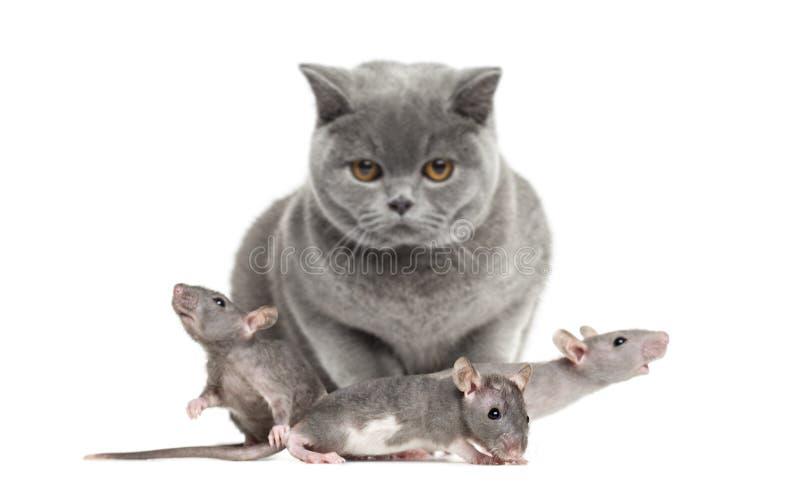Brytyjski Shorthair i trzy młodego bezwłosego szczura obraz stock