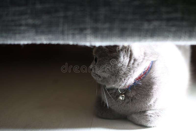 Brytyjski Shorthair kot chujący pod kanapą zdjęcie royalty free