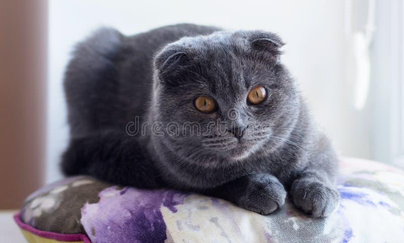 Brytyjski Shorthair pedigreed figlarka zdjęcia royalty free