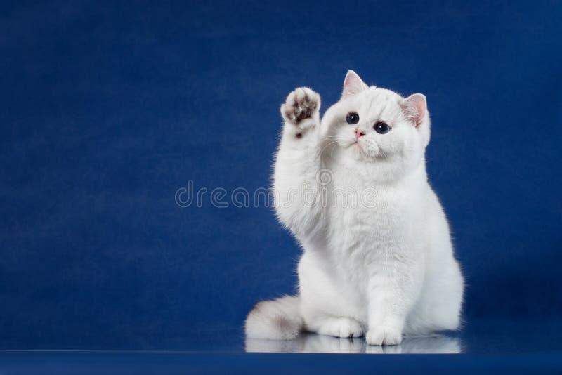 Brytyjskiego białego shorthair figlarnie kot z magicznymi niebieskimi oczami stawia jego łapę up, jak mówić cześć Brytania figlar obraz royalty free