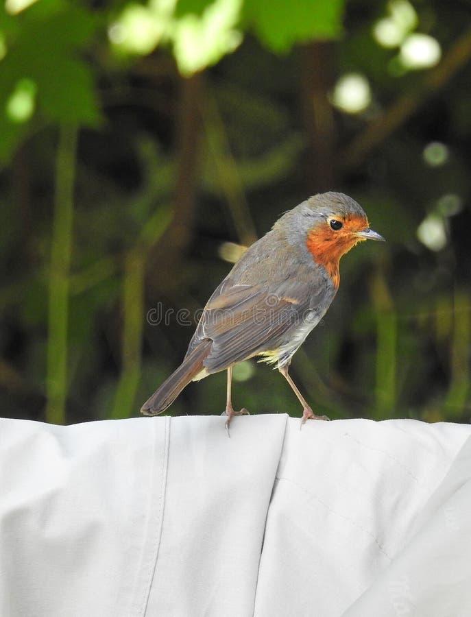 Brytyjskiego erithacus rubecula rudzika piersi czerwony ptak fotografia stock