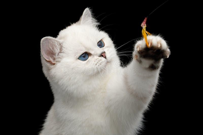 Brytyjskiego kota biały kolor z niebieskimi oczami na Odosobnionym Czarnym tle zdjęcie stock