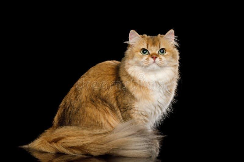 Brytyjskiego kota Czerwony kolor z Ow?osionym w?osy na Odosobnionym Czarnym tle zdjęcie royalty free
