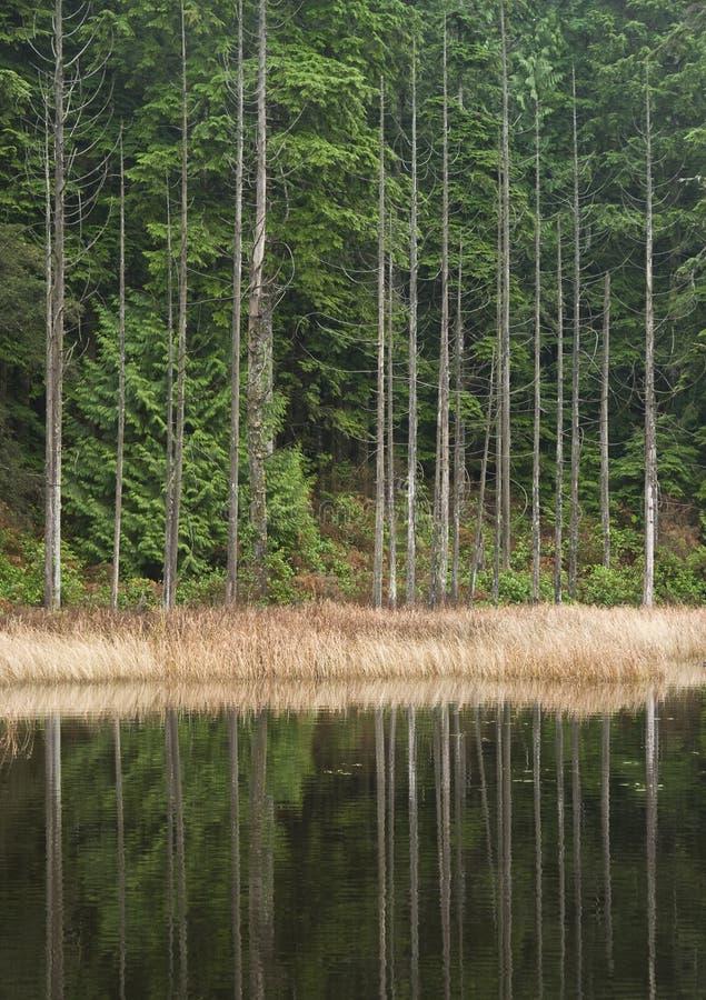 brzeg cedrowi jeziorni drzewa obraz royalty free