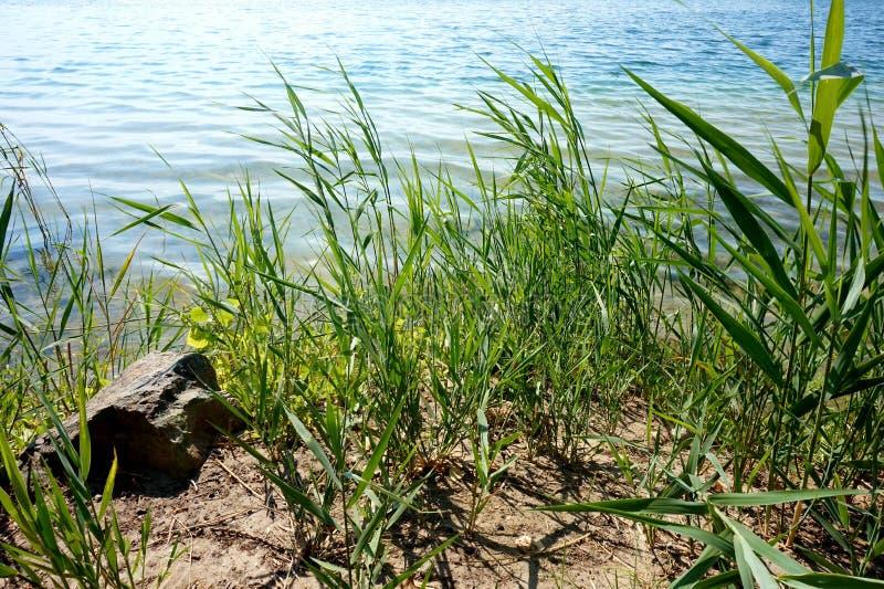 Brzeg jezioro na słonecznym dniu przerastającym z płochami lub rzeka obrazy royalty free