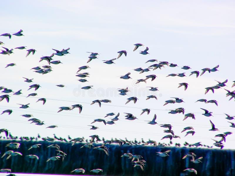 Brzeg ptaki W locie fotografia stock