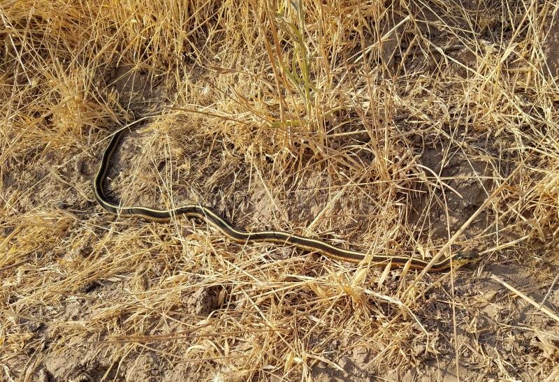 Brzegowy podwiązka wąż zdjęcie royalty free