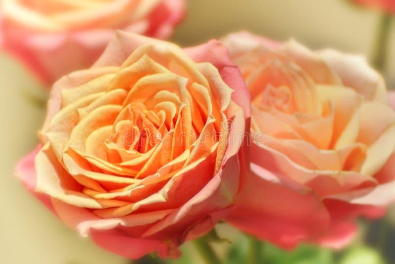 brzoskwini barwione róże fotografia stock