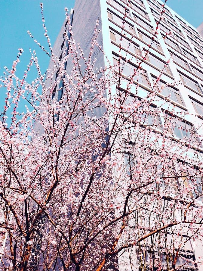 Brzoskwini drzewa zdjęcie royalty free