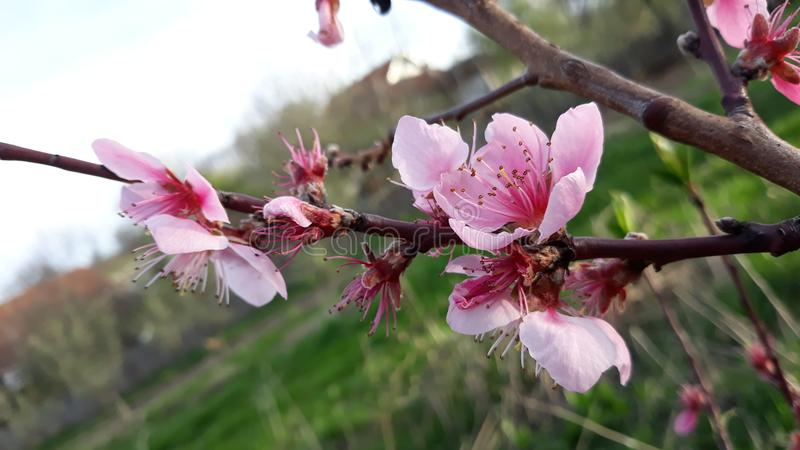 Brzoskwini drzewa kwiaty zdjęcia stock