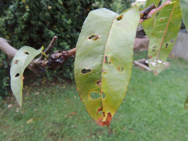 Brzoskwini drzewa liście atakujący insektami obraz stock
