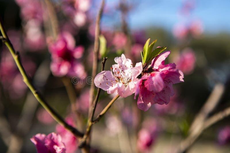 Brzoskwini drzewa okwitnięcia menchii kwiatu natury tło obrazy royalty free