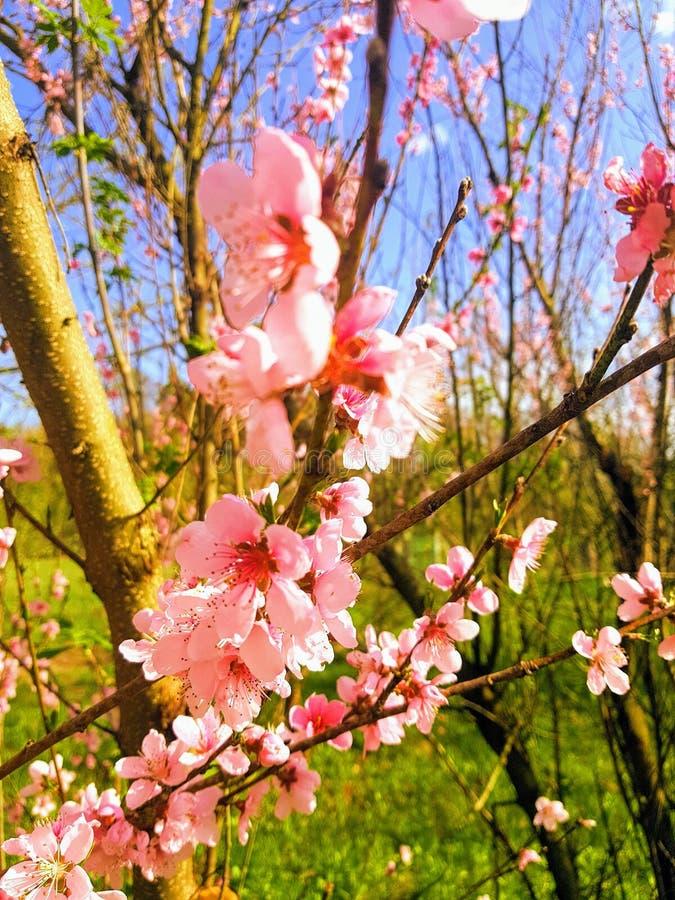 Brzoskwini drzewa okwitnięcie w wiosce, Ukraina zdjęcia royalty free