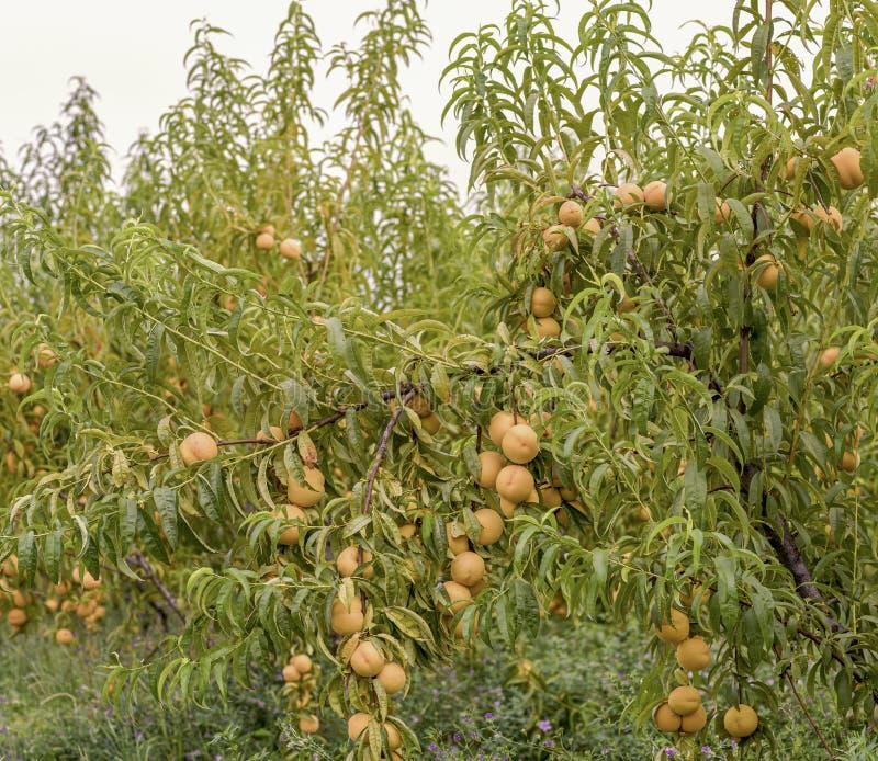 Brzoskwini drzewa z dojrzałymi owoc gotowymi dla żniwa zdjęcie stock