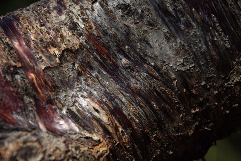 Brzoskwini drzewna barkentyna obrazy stock