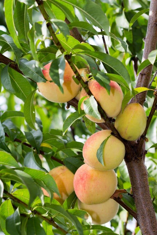 Brzoskwini drzewo obrazy royalty free