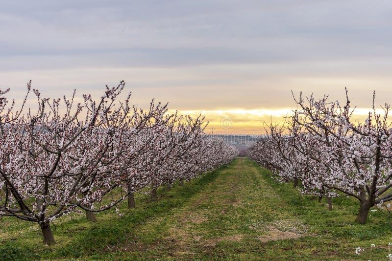 Brzoskwini drzewo w kwiacie, z różowymi kwiatami przy wschód słońca Aitona Rolnictwo fotografia stock