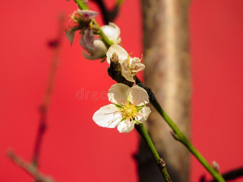 Brzoskwini drzewo z r??owymi brzoskwinia kwiatami obrazy royalty free